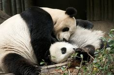 Rita Petita Momma loves you Zhen Zhen  Bai Yun comforts Zhen Zhen after she had a scare. Something scared Zhen Zhen and she ran to Momma after letting out a big scream. I walked in just as she was running to Mom for comfort. Bai Yun took her under her body and lay on her to quiet her down. Bai Yun's gesture towards her cub was amazingly tender, she is such a good Mother.
