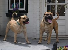 Boerboels.. when I am rich.. I will have one of these dogs!