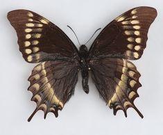Papilio warscewiczi
