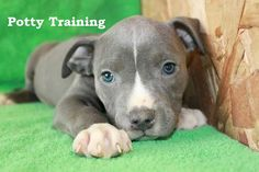 Blue Nose Pitbull Puppies. How To Potty Train A Blue Nose Pitbull Puppy. Blue Nose Pitbull House Training Tips. Housebreaking Blue Nose Pitbull Puppies Fast & Easy. Share this Pin with anyone needing to potty train a Blue Nose Pitbull Puppy. Click on this link to watch our FREE world-famous video at ModernPuppies.com