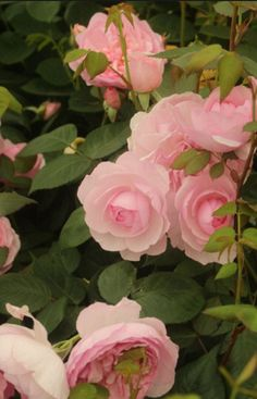 David Austin Roses always steals the show among the trade stands. This year, the firm released its first bloom from a new breeding programme of disease-free lines - a soft and fragrant pure-pink called 'Olivia Rose Austin'. The plant is quite short, and would by perfect for a rose border, says writer Val Bourne. Picture: Martin Pope