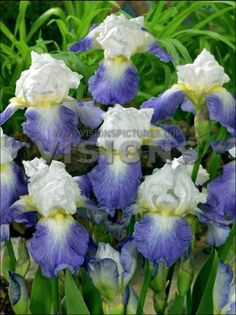 iris germanica mission ridge - Sök på Google