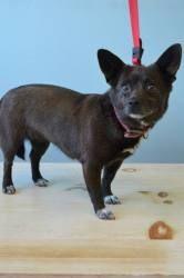 #Adopt Pulia !! a Schipperke/Chihuahua mix dog in #GardenCity #KANSAS