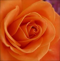 Orange Comes Softly Exotic Flowers, Amazing Flowers, Beautiful Roses, Beautiful Flowers, Beautiful Pictures, Orange Flowers, Yellow Roses, White Roses, Orange Color