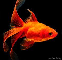 """Premium Red Fantail Goldfish, 1.5"""" to 2"""" long"""