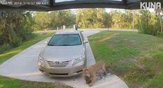 VIDEO: COUGAR TAKES DOWN HOUSE CAT IN FRONT DRIVE OF FLORIDA HOME