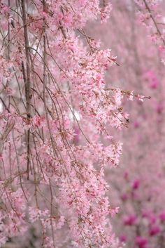 Weeping Cherry Trees, Reynolda Gardens, NC