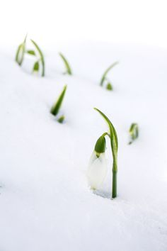 Snowdrops emerging from under the blanket of snow. Photo by Cody H. Natural Garden, Stud Earrings, Snow, Blanket, Nature, Naturaleza, Stud Earring, Blankets, Cover