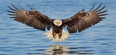 The bald eagle,scientifically known as Haliaeetus Leucocephalus meaning white he. - The bald eagle,scientifically known as Haliaeetus Leucocephalus meaning white headed sea eagle, is - The Eagles, Bald Eagles, Photo Aigle, Aigle Animal, Eagle Pictures, Eagle Images, Eagle In Flight, Powerful Pictures, Eagle Wings