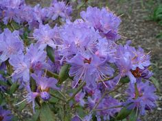 """Rhododendron """"Blue Chip"""""""