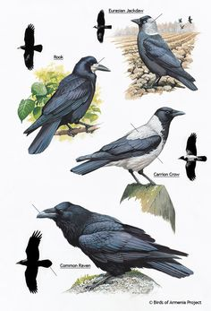 Plate 60 - Jackdaws, Rooks, Crows and Ravens - A Field Guide to Birds of Armenia ::Acopian Center for the Environment Crow Images, Prehistoric Wildlife, Dragon Comic, American Crow, Raven Bird, Crow Art, Jackdaw, Crows Ravens, Bird Illustration