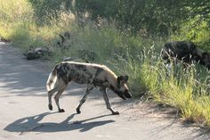 Wilde honden in het Krugerpark in Zuid-Afrika. Foto: G.J. Koppenaal - 2/2/2012