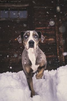 My winter catahoula - Louisiana leopard dog stands in front of a wooden cottage in snow in a blizzard. Cute Dog Photos, Dog Pictures, Catahoula Cur, Leopard Dog Catahoula, Dog Photography, Training Your Dog, Dogs And Puppies, Doggies, Beautiful Dogs