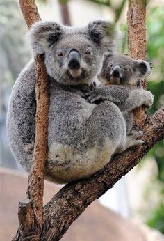 Koala + Joey
