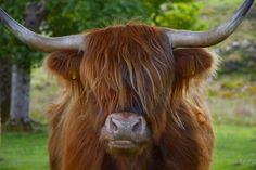 highland cow by xenonhornet
