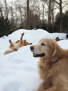 This sums up how different my gf's Goldens are: