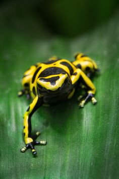 Yelloe-banded poison dart frog. Found most commonly in the northern part of South America, most notably Venezuela.