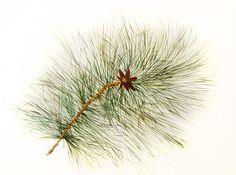 El pino de Sen Sei. 2014. Sumi-e, tintas sobre seda  en soporte rígido de 40 x 54 cm Alesso, Dandelion, Flowers, Plants, Antique China, Pine, Silk, Art, Dandelions