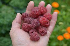 raspberries -  Himbeerernte Edible Garden, Raspberries, Fruit, Food, Vegetable Gardening, Raspberry, Vegetable Garden, Meals