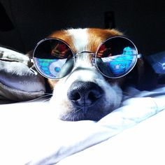 It ain't no thang -- I am the flyest pooch in the world.  Where all the bitches at?  #dog #sexsymbol #neutered #rescue #beagles #virgin #cute #shades