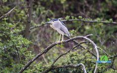 Black crowned night heron - nycticorax - Nitticora