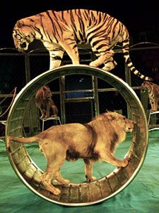 Pinner before:Circus comes under fire after tiger's death - Care2 News Network