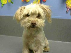 ID#A445636 I am described as a male, tan and white Shih Tzu. The shelter thinks I am about 5 years old. I have been at the shelter since Feb 06, 2015 and I may be available for adoption on Feb 13, 2015 at 9:55AM. If you are interested in me, please visit me before this date. If you think I am your missing pet, please call or visit right away.
