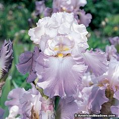 Re-blooming Bearded Iris Mother Earth is a ruffled masterpiece of pastel pink and snow white. Blooms spring and fall.