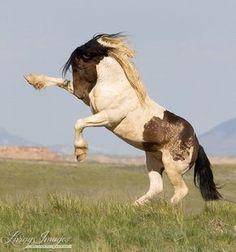 Proud Wild Rearing Bay Pinto Mustang Stallion.