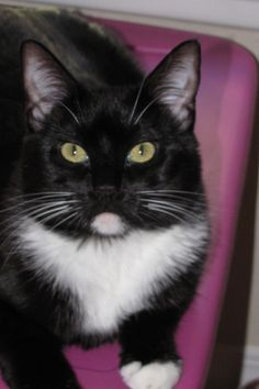 Love my tuxedo kitty