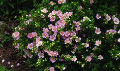 Bilde av BUSKMURE 'LOVELY PINK' Shrubs, Dream Wedding, Planters, Nature, Pink, Garden Ideas, September, Gardens, Handle