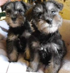Schnauzers, one for you and one for me ^_^ @Sarah Chintomby Rossing