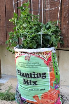 Even if you don't have space for a garden, you can grow tomatoes in a bag of potting soil! This absolutely works!