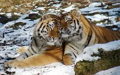 Lovely Tigers ...