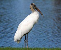 Wood Stork Mycteria americana - Google Search