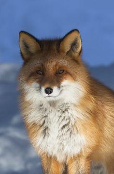 Fantastic Mr Fox by Keith Burtonwood