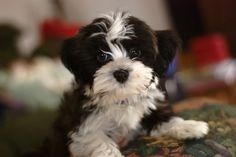 I love Havanese puppies. I will never get another kind of dog.