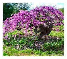 See your garden shake, rattle, and roll when this lavender twist tree comes into full bloom. Growing into a weeping form with a contoured stem and arching shoots, it boasts an umbrella-shaped crown that comes alive in spring with rosy lavender-pink flowers. From Cottage Farms. QVC.com