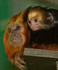 Santa Ana Zoo's Golden-headed Tamarin Baby a Boost for the Species.