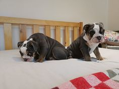The many things we all adore about the Friendly Bulldog Puppy English Bulldog Funny, English Bulldog Puppies, English Bulldogs, Puppy Food, New Journey, Besties, Boston Terrier, Red And White, Dads