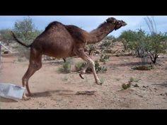 Camel Vs Plastic Bin