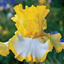 Buy Lemon Meringue German Iris at Michigan Bulb Iris Flowers, Exotic Flowers, My Flower, Colorful Flowers, Flower Power, Planting Flowers, Beautiful Flowers, Cactus Flower, Flowers Garden
