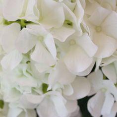 Soft Touch Hydrangea Bush in White - 21in. Tall