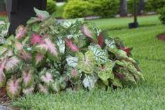 Mixed caladiums thrive in sun and shade