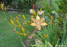Herbácea rizomatosa, pertence à família Iridaceae, nativa da China e Japão, perene, ereta, não ramificada, de 60 a 90 cm de altura. Folhas ornamentais...