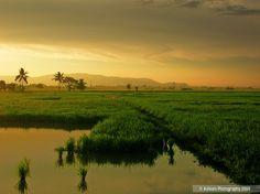 Paddy field, Penang, Malaysia