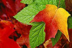 Wisconsin Sugar Maple