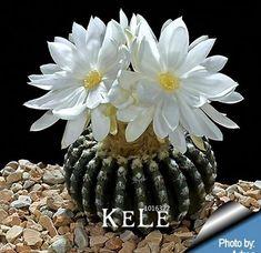 Big Sale! Suculentas sementes Echinopsis tubiflora, sementes de cactos, rara flor do cacto, cerca de 10 Pçs/lote, # BSIRKZ
