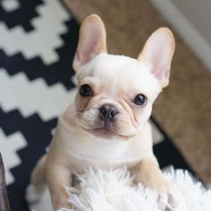 Leo, the French Bulldog Puppy❤️ what and adorable and sweet face Leo has! Look at that adorable puppy smile!!