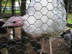 blurry visions from a moving vehicle: We Visited Smiling Hill Farm in Portland, ME today. Here are my favorite pics. A White Turkey